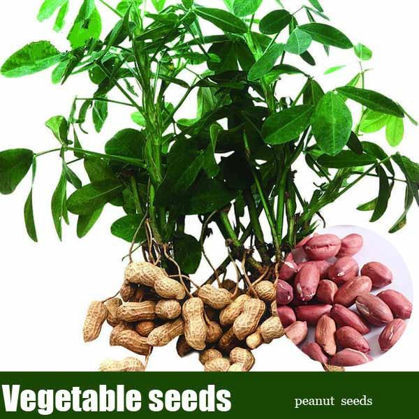 10 Pcs / bag Red Peanut China Organic Delicious Vegetable Indoor Bonsai Garden Pots Planters for Home Garden Decor Easy to Grow