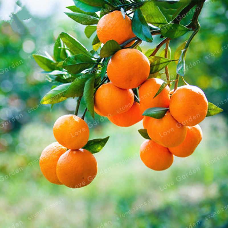 30 Pcs Citrus Reticulata Bonsai Pot Organik Buah Jeruk Bonsai Kerdil Berdiri Pohon Jeruk Bonsai Tanaman Dalam Ruangan Di Pot