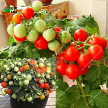 Potted Sweet Cherry Tomato seeds vegetable seeds Organic dwarf fruit Vegetable seeds Bonsai Dwarf Tomato plant 50seeds/bag dwarf master gunnery 28mm
