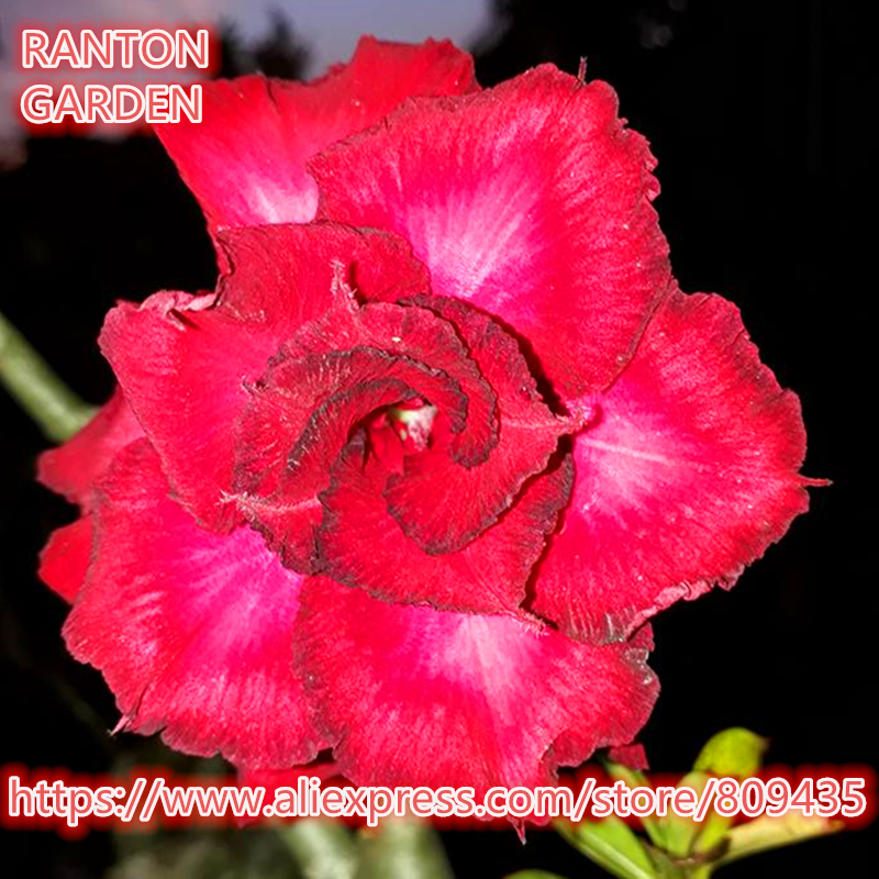 New arrive quality flower seeds 5 PCS Big Rich Adenium Obesum seeds quality Rare Desert Rose Bonsai seeds for home garden