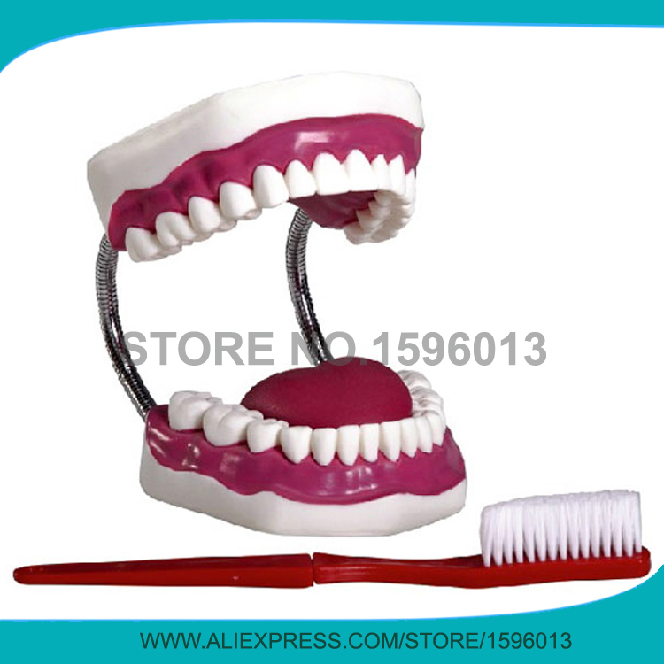 HOT Dental nursing care model , Dental Care Simulator,teeth model dissected model of teeth tissue dental care model
