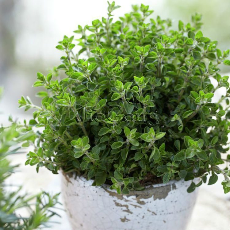 oregano vulgare seed herb seed wild marjoram pot. Black Bedroom Furniture Sets. Home Design Ideas
