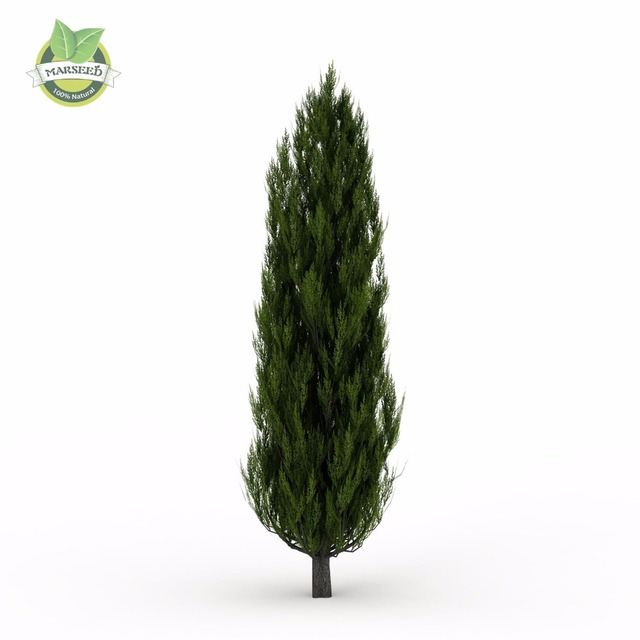 50 ITALIAN CYPRESS (Cupressus sempervirens )Tree Seeds,popular hardy bonsai seeds for home garden planting Free shipping!!