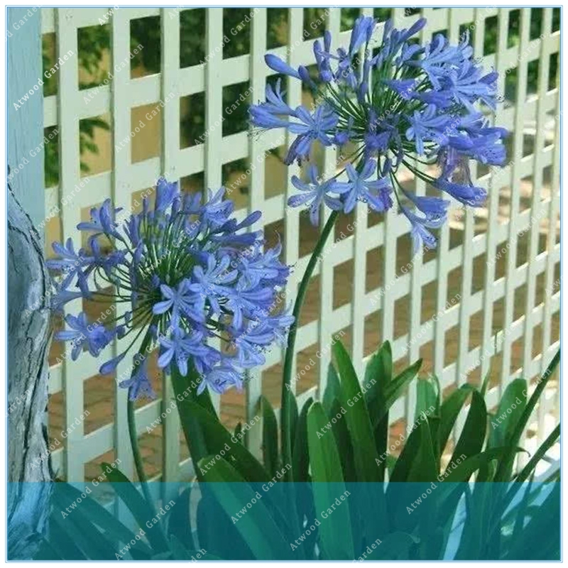 ZLKING 50PCS Agapanthus Africanus  Beautiful Home Garden flower easy care and drought tolerant agapanthus