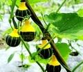 On Sale 30pcs pumpkin seeds RARE chinese rainbow bulb vegetable seeds herb mini bonsai pot planter home & garden free shipping