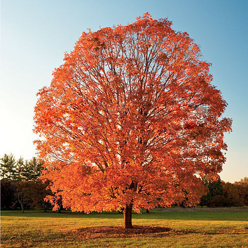 New Home Garden Plants 50PCS Northern Sugar Maple seeds Acer Saccharum Rock Maple Fall Colors Tree Seeds