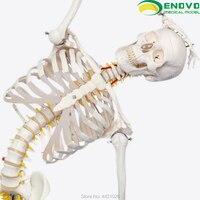 ENOVO 170CM human skeleton model medical science spine bending yoga exercise skeleton model