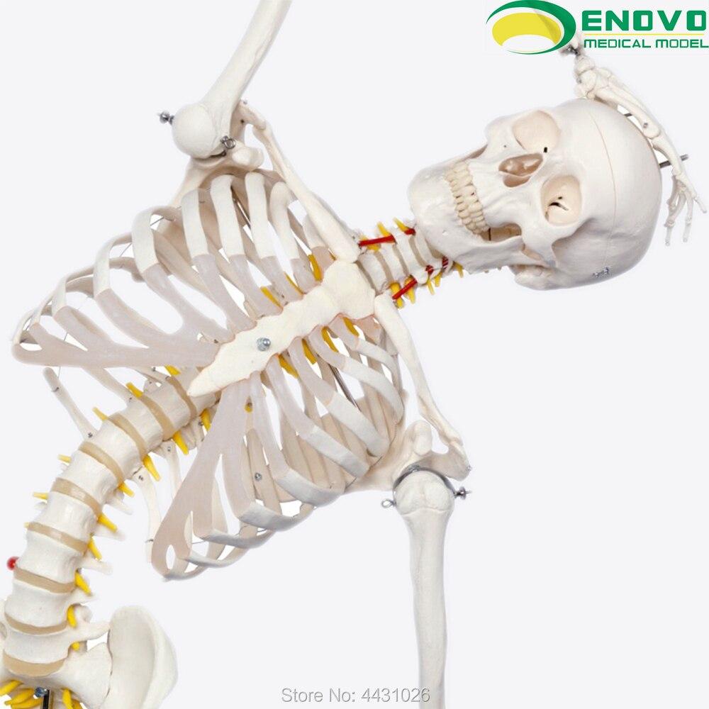 Modèle de squelette humain ENOVO 170 CM modèle de squelette d'exercice de yoga de flexion de colonne vertébrale de science médicale