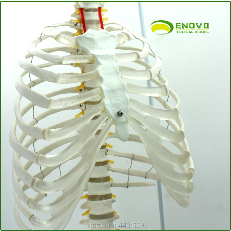 ENOVO The spine model of the spine of the spine of the human spine spine comfort 245 37
