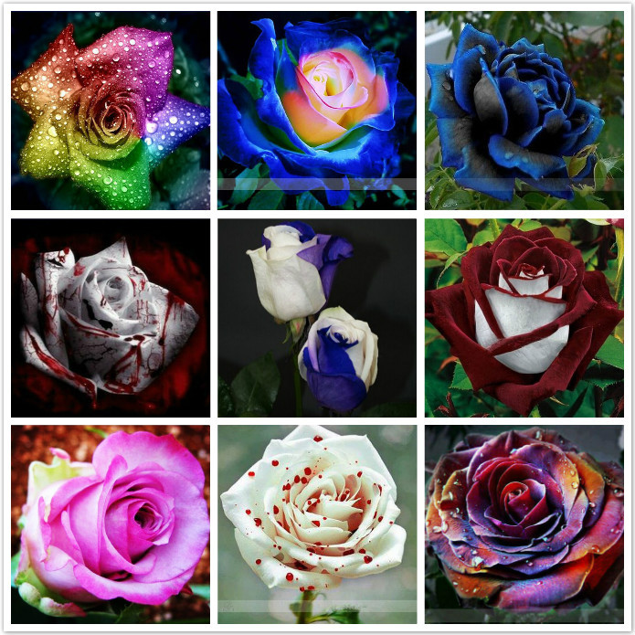 Freeshipping 900pc 9 kinds of roses seeds, each of 100pc, very rare and unique, price concessions,other shops are the same seed