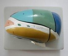 Magnified Thalamus Model,Thalamus Model
