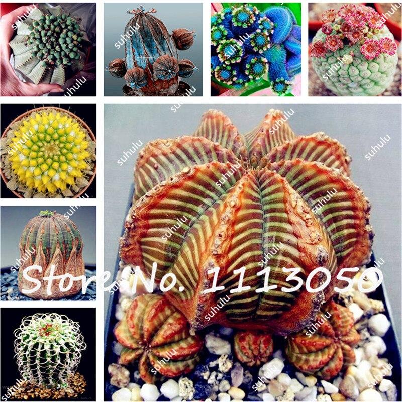 piedra piedras vivas semillas lithops suculentas cactus planta de mezcla bricolaje planta en maceta
