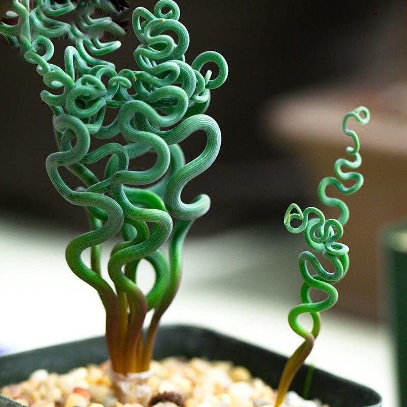 Hot Sale Spiral Grass Seeds DIY Home Garden Rare Bonsai Potted Outdoor Balcony Plant Seeds 120pcs
