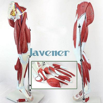 Human Anatomical Leg Muscles Of Lower Limb Anatomy Medical Model + Nerve human anatomical male genital urinary pelvic system dissect medical organ model school hospital