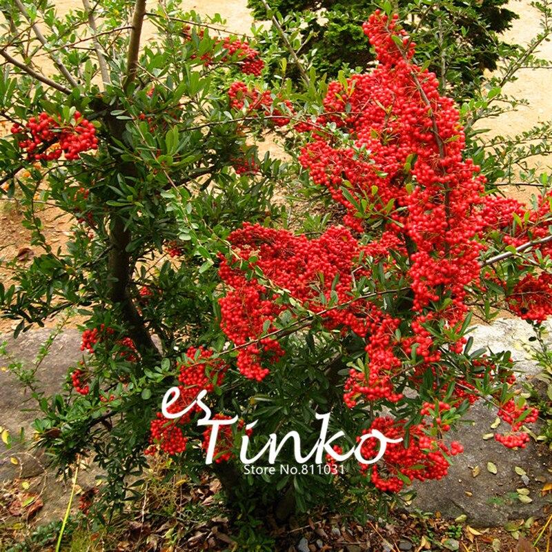 50pcs Schisandra Chinensis Seeds Winteraceae Plant Deciduous Woody Vines Home Garden Bonsai Seeds Plant DIY