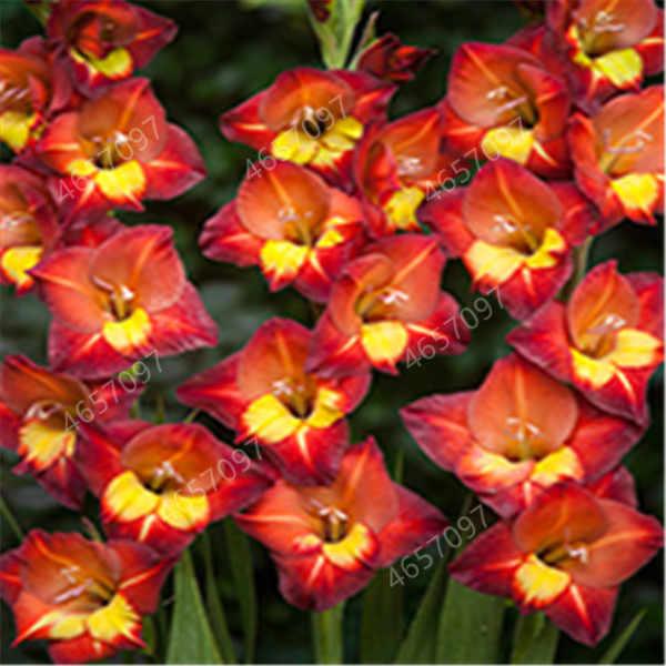 100 Pcs Rare A Righe Gladiolo Spada Giglio Pianta Da Giardino di Fiori di Orchidea Gladiolo Bonsai Seedsplant Gandavensis di Alta Tasso di Sopravvivenza