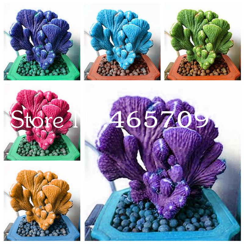 300 Pcs Bonsai Spurge Plant, Fan-Shaped Succulent Plants, Rare Cactus Succulent Bonsai For Home Garden Ornamental Bonsai Planta