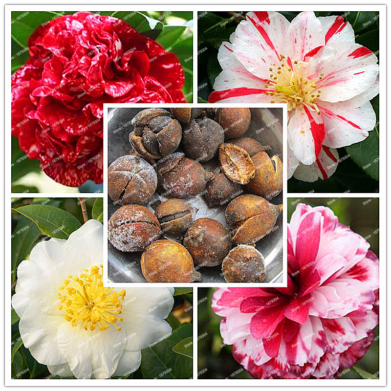 2018 New Arrival 100% Real Common Camellia bulbs Garden Potted Flowers  Bonsai Plant 2 particle / pack Indoor&Outdoor plants
