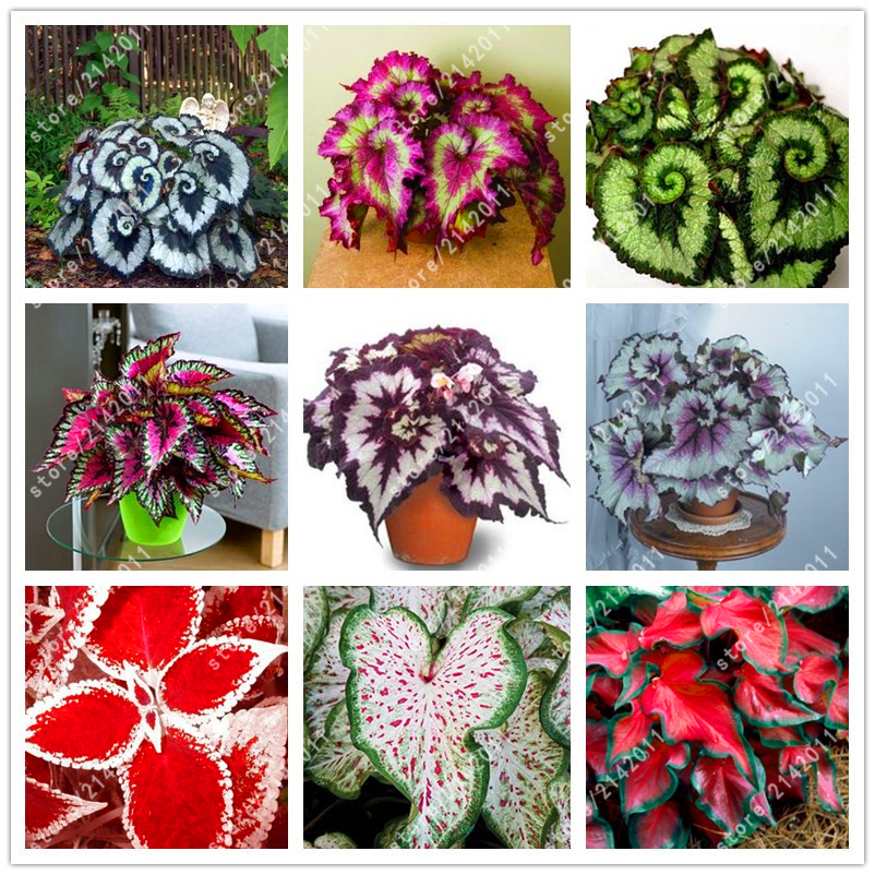 100pcs/bag beautiful Begonia, begonia seeds bonsai flower seeds flowers potted begonia plants for garden balcony Coleus seeds