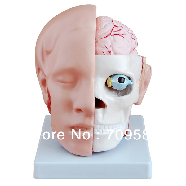 ISO Human Head with Brain And Brain Artery Model, Head Model head and brain artery model iso brain anatomical model head anatomical model