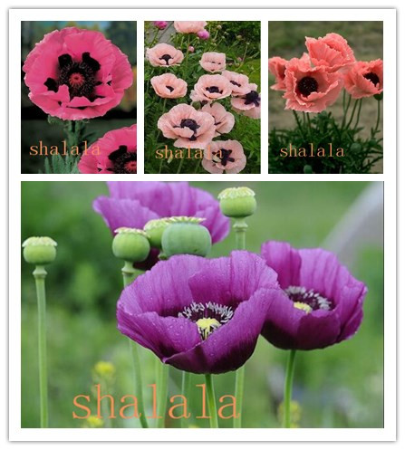 100pcs/bag Mixed Colors Poppy Bonsai Perennial  Flower High Quilty Potted Plants For Home Garden Planting