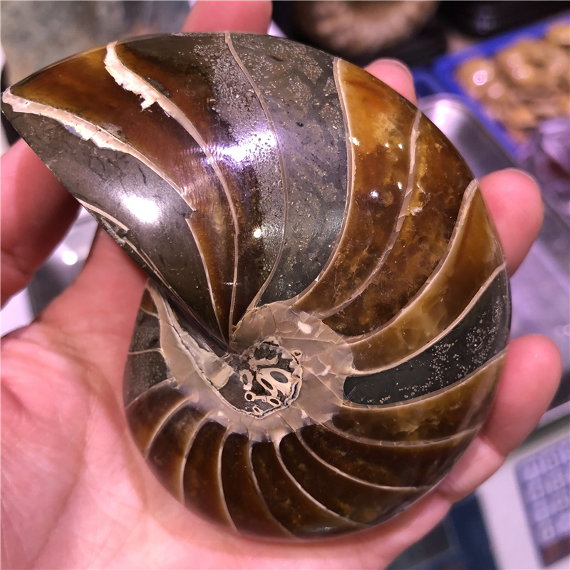 DHX SW 100% natural nautilus fossil mineral specimen pearly nautilus conch fossil nautiloidea healing ammonite from Madagascar