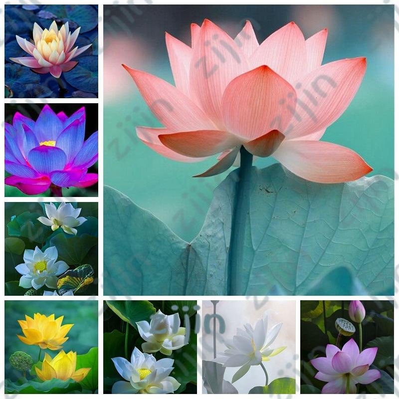 10Pcs Lotus Flower Mini Lotus Bonsai Aquatic Plants Bowl Lotus Water Lily Flores Perennial Plant For Home & Garden Decoration