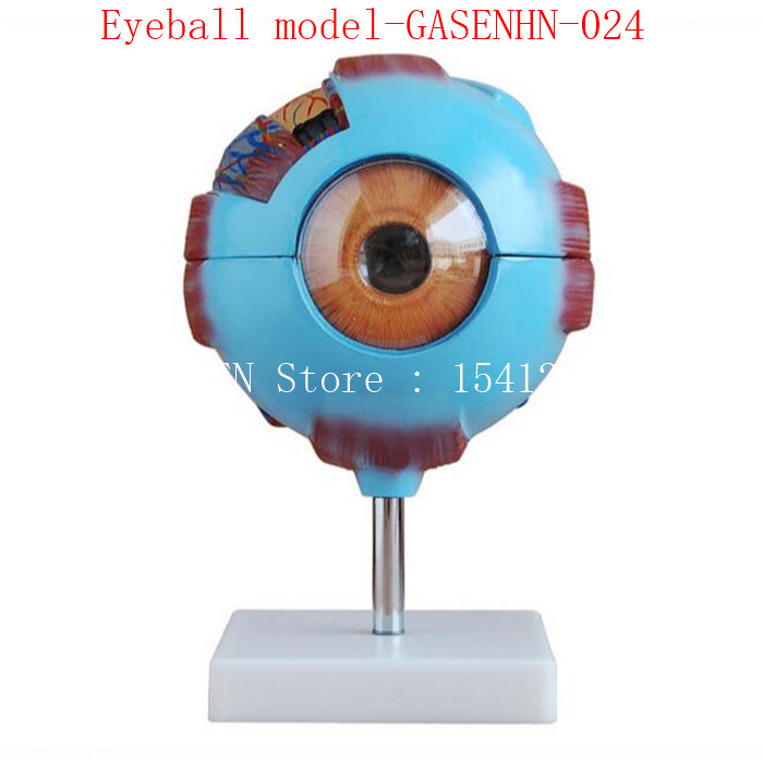 anatomical model of human eyeball structure teaching Teaching medicine 6 times Eyeball model-GASENHN-024 an anatomical model of human eyeball structure teaching teaching medicine eyeball model gasenhn 024