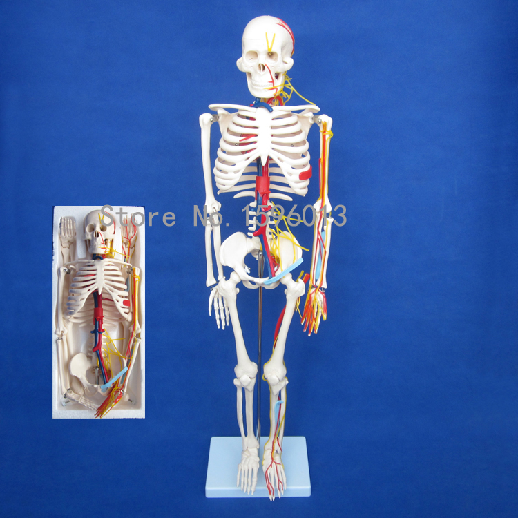 HOT Human 85cm Skeleton with Nerves and Blood Vessels Model, Human Skeleton Model iso detailed anatomical model of human head with vessels and nerves