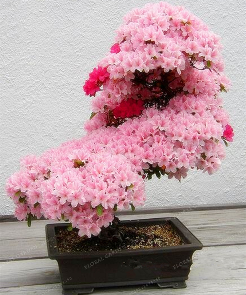 Bonsai Tree japanese Sakura plant Rare Japanese Cherry Blossoms Flowers plant in Bonsai,Pink Prunus Serrulata 10 pcs/pack(China)