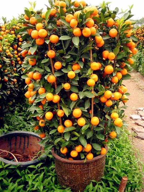 Orange Bonsai Dingin Hardy-Manis Mandarin Orange (Citrus Reticulata) 30 Pcs Cina Emas Bonsai Pohon Buah untuk Taman