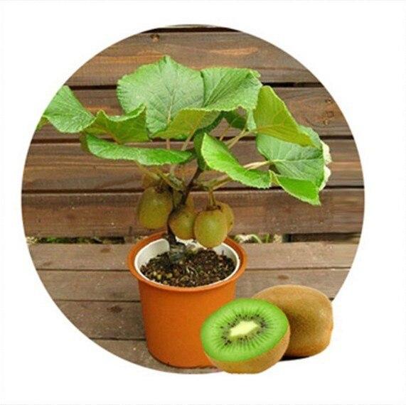 100pcs kiwi fruit seeds thailand mini kiwi fruit seeds flower bonsai plants delicious mini kiwi vegetable