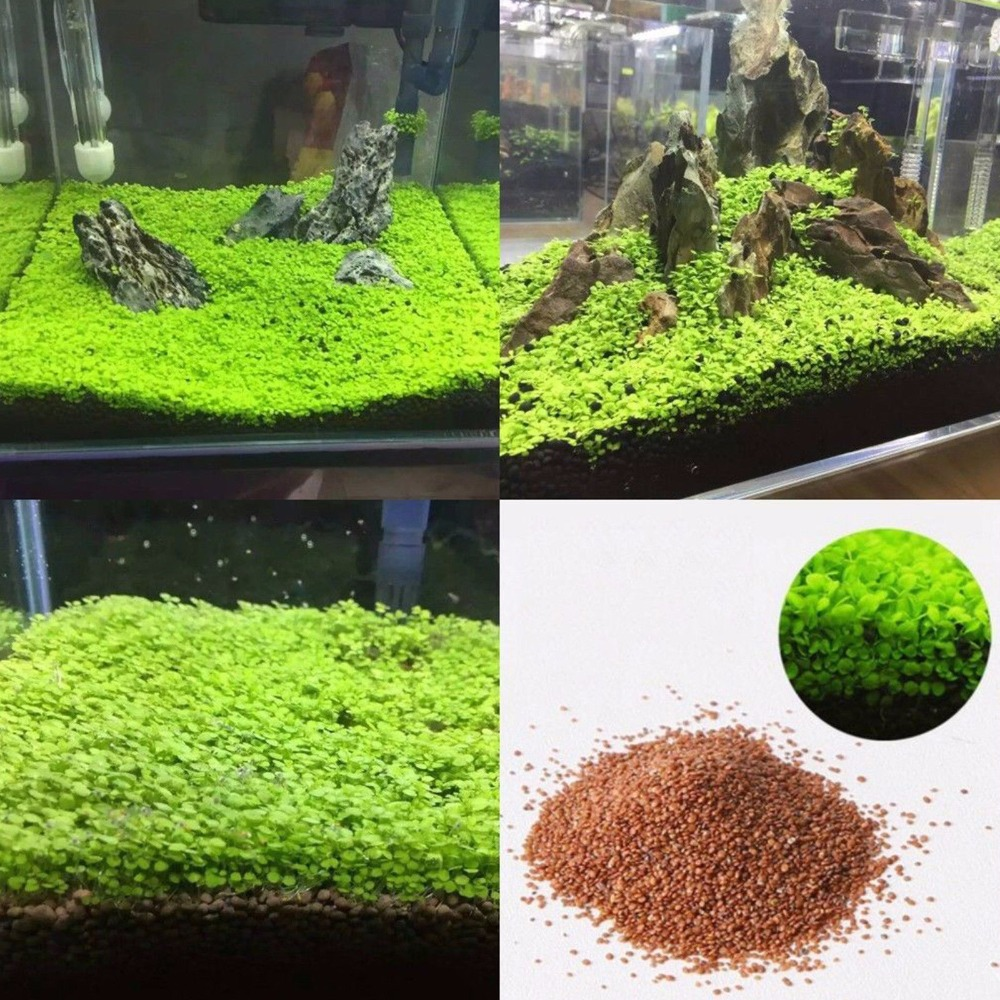 US $1 14 7% OFF|Lots Aquarium Plant Seeds Aquatic Double Leaf Carpet Water  Grass Fish Tank Decor-in Decorations from Home & Garden on Aliexpress com |