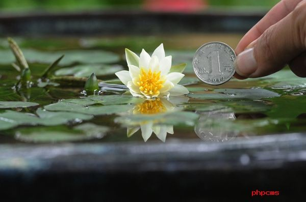 Popular mini water lily buy cheap mini water lily lots for Cheap pond plants