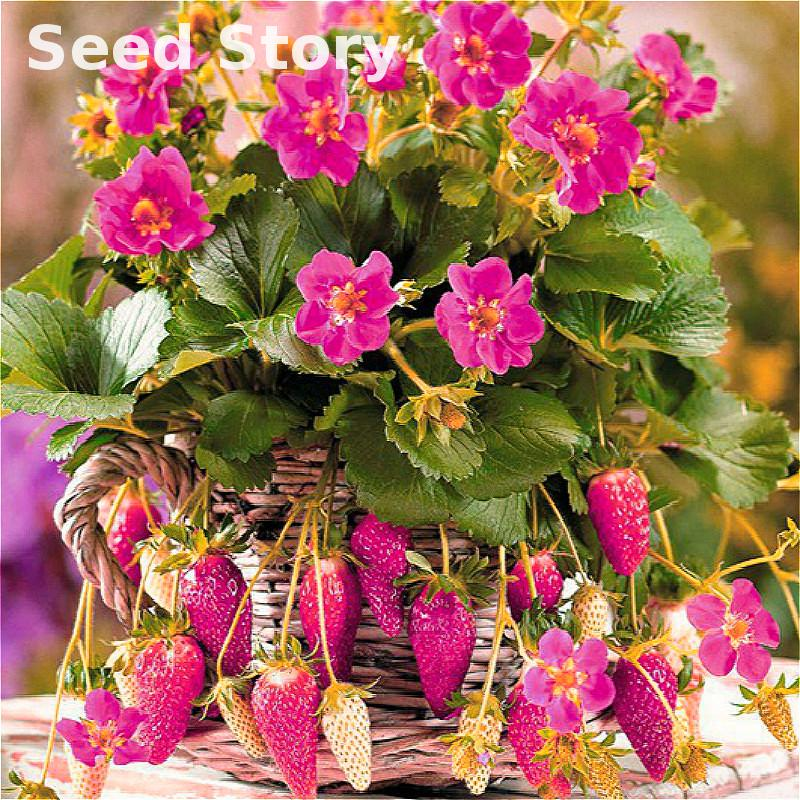 100 Pcs / Pcsking Milk Strawberry Seeds Rare Indoor Organic Fruits Seeds In Bonsai 100% True Potted Seed Home Garden Diy Plant