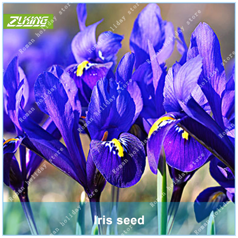 Us 0 8 Zlking 100pcs Iris Flower Bonsai Plants For Home Garden Exotic Flowering Plants Beautiful Natural Flowers On Aliexpress