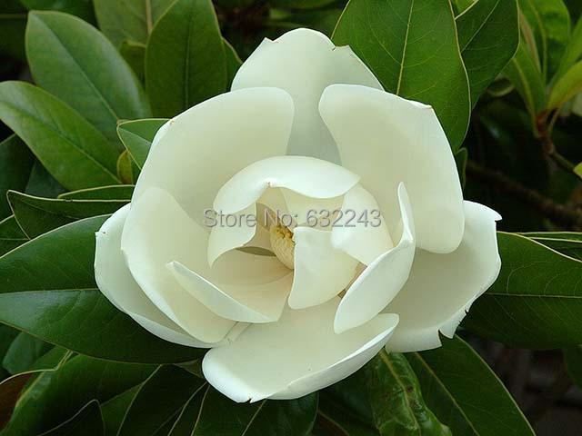 Home Garden Plant 10 Seeds Magnolia Grandiflora Southern Magnolia