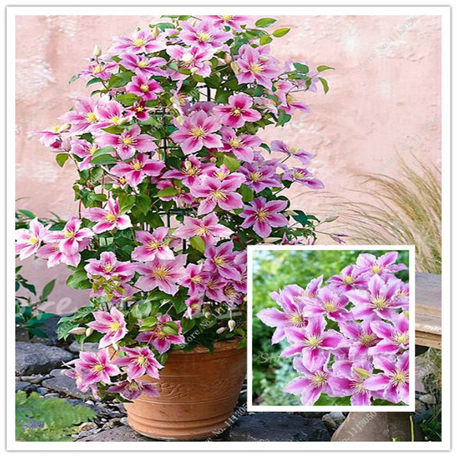 Hot sale 100 clematis seeds for home garden pink vine flowers 100 clematis seeds for home garden pink vine flowers plant seed climbing plants mightylinksfo