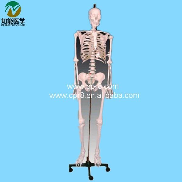 BIX-A1001 The human body skeleton model(180cm)_01