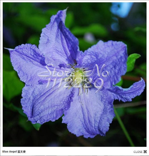 50pcs / bag multi-colored clematis seeds, real rare clematis plant seeds, Bonsai clematis bulbs wire lotus plant,