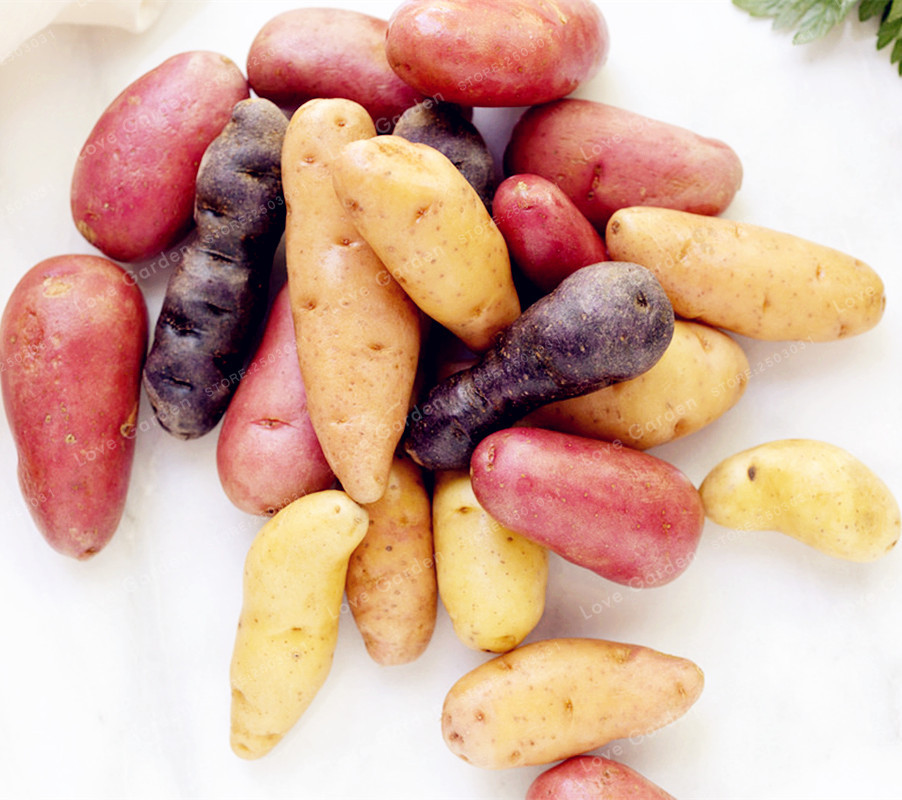 100 Russian Banana Fingerling Potato Bonsa Organic Plant Vegetables Fruit Sweet Healthy Kitchen Cooking Food Garden Plant NO GMO