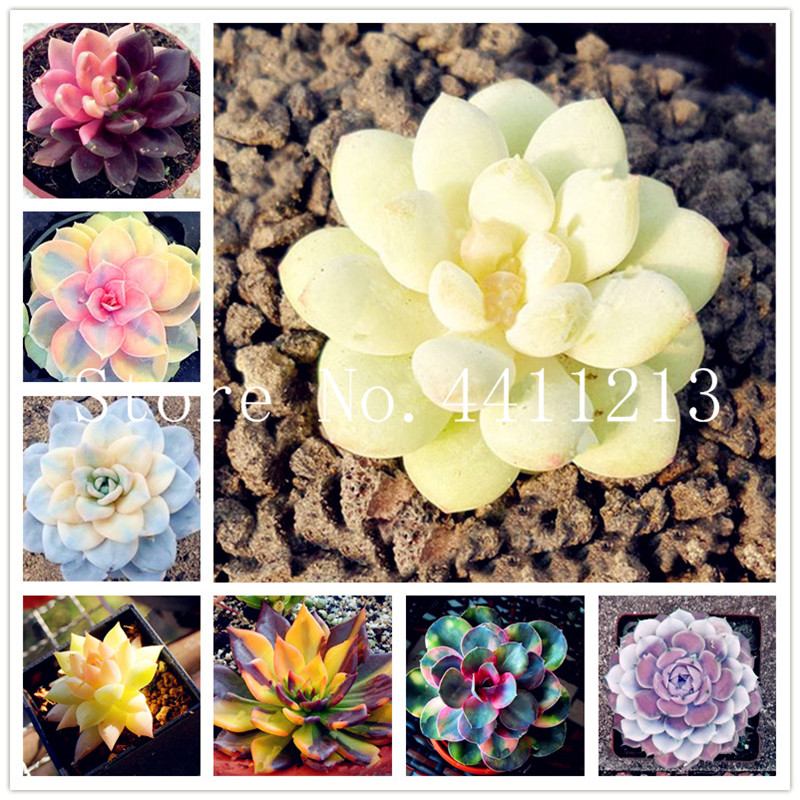 100Pcs/bag Bonsai Colorful Succulents Mix Color Succulent Plants Mix Lithops Bonsai Living Stones Succulent Cactus Potted Plants