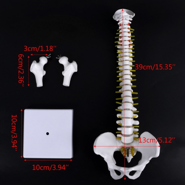 45cm Human Anatomical Spine with Pelvic Flexible Model Medical Learn Aid Anatomy Spine Model School Stationery