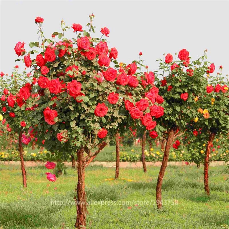 200pcs rare flower rose tree seeds bonsai flower seeds for Garden rose trees