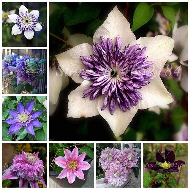 100 Pcs/ Bag Bonsai Clematis Flower Outdoor Clematis Vines Potted Perennial Flowers Climbing Bloom Plants For Home Garden Decor