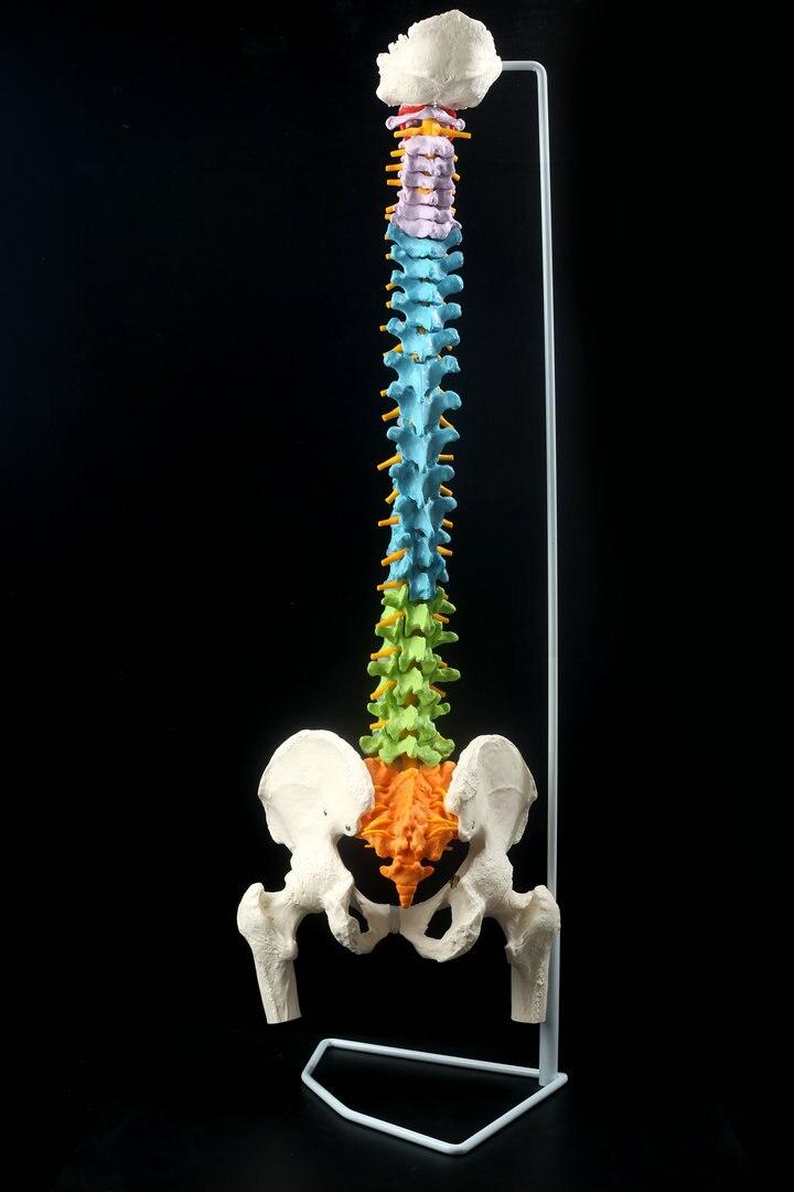 1:1 menschlichen Wirbelsäule mit Becken Modell, Farbe mit Becken ...