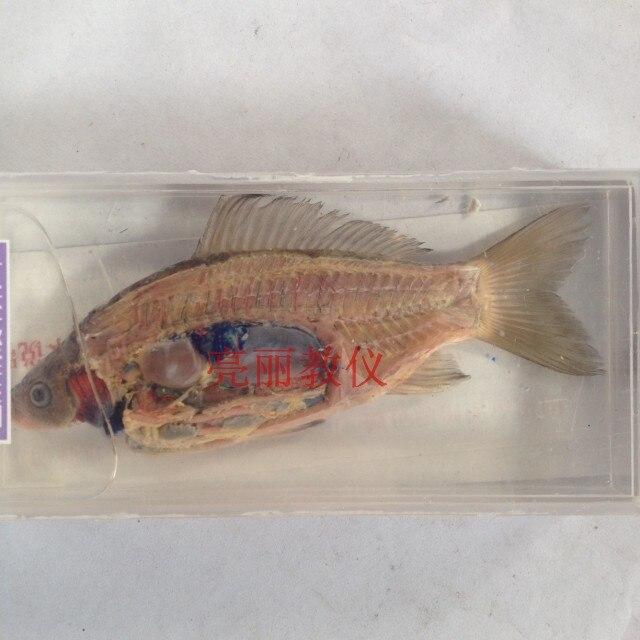Pescado anatomía especímenes en junior high school biología ...