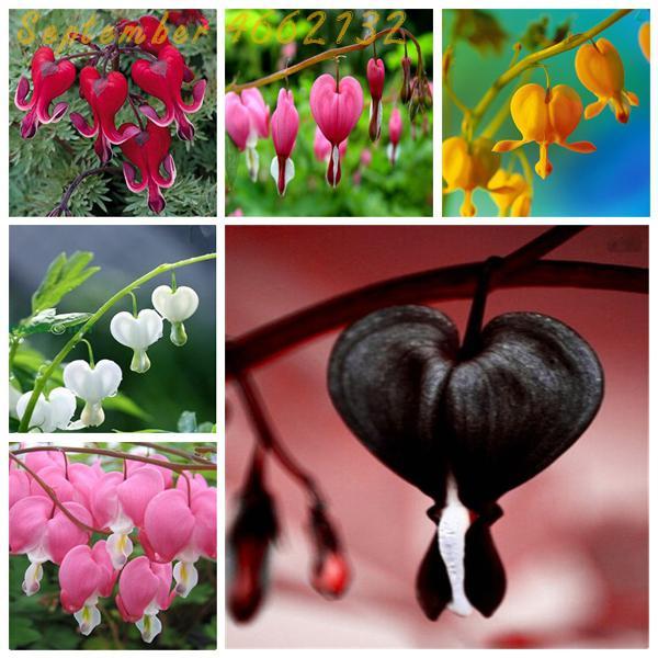 100 pièces coeur fleur bonsaï, Dicentra specabilis doux coeur portefeuille pivoine fleurs, pour Rare fleur vivace. Bleu coeur lys plante