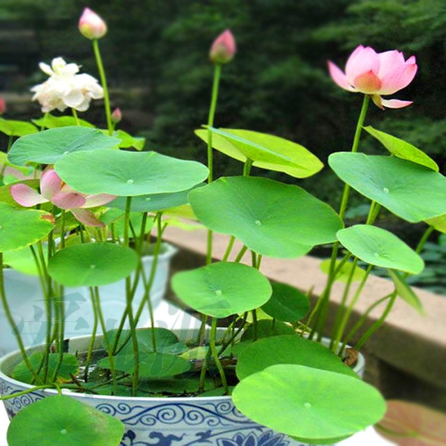 10 pcs Aquatic plants flower seeds bowl lotus, Water Lilies lotus seeds, 100% genuine rainbow seeds