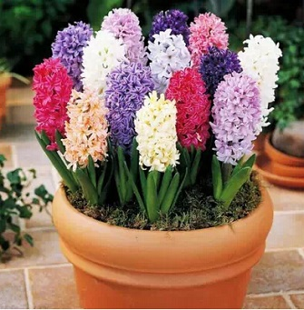 Genuine Dutch champagne hyacinthus Seeds flower seeds bonsai balcony Hyacinthus Orientalis Seeds